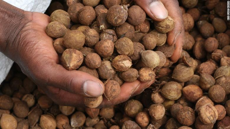 Croton Nut...